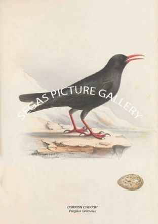 CORNISH CHOUGH - Fregilus Graculus